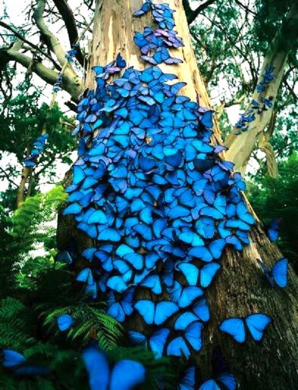 Blue morpho butterflies congregate on a tree.  There are over 80 species of butterflies in the genus Morpho. They are tropical butterflies found mostly in South America as well as Mexico and Central America.