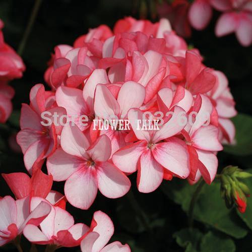 Бонсай розовый sementes-де-флорес семена цветов 10 шт./лот герань пеларгония семена садовые цветы семена цветочные горшки цветочные горшки