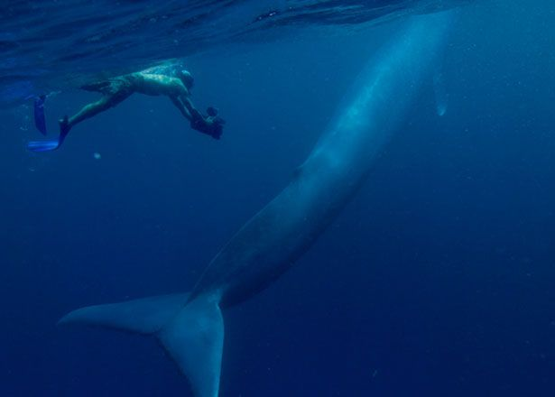 Even as a baby, a blue whale can make a grown man look like a minnow. Description from forum.santabanta.com. I searched for this on bing.com/images