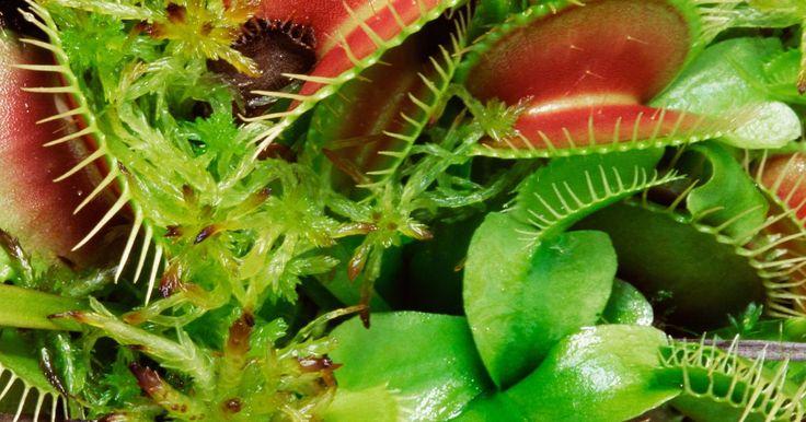 ¿Pueden las venus atrapamoscas comer hormigas?. En el reino vegetal, pocas especies son tan temibles como la venus atrapamoscas, por lo menos desde el punto de vista de un insecto. Si bien la mayoría de las plantas obtienen el nitrógeno y otros nutrientes esenciales para su crecimiento del aire y del suelo, la venus atrapamoscas y otras plantas carnívoras adquieren su sustento consumiendo ...