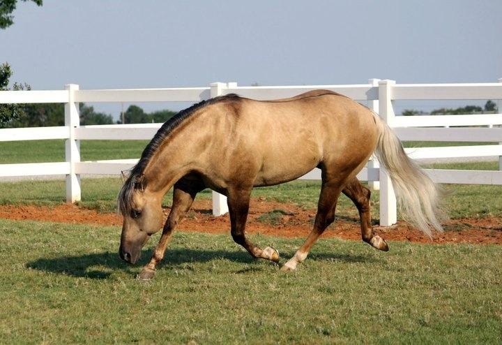 Quarter Horse stallion Tinsel Jac