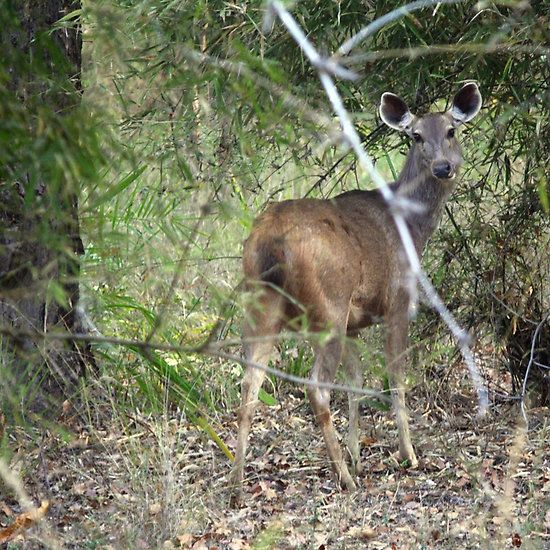 Sambar deer in the Bandhavgarh forest in MadhyaPradesh, India. @lonelyplanet_in #lp