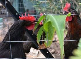 4 Easy to Grow Plants Your Chooks will Love