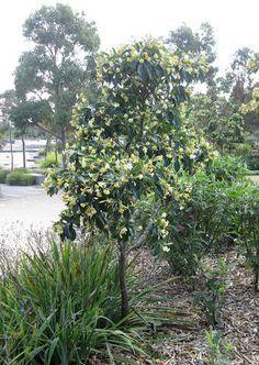 Hymenosporum flavum (Native Frangipani Tree) per Karen Johnson: Australian Garden