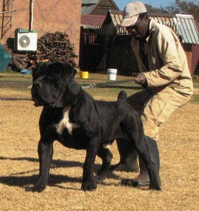 Massive Black Boerboel Beautiful Dog