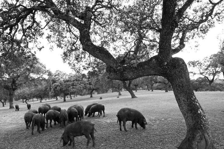 Cerdos ibéricos en la Dehesa // Iberian pigs in Spain www.belotea.com