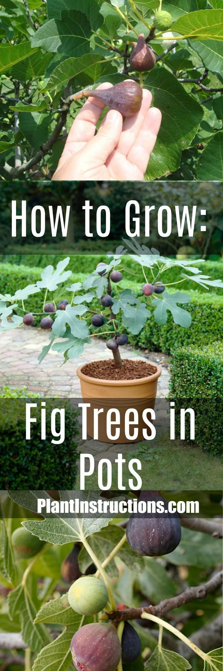 How To Grow Figs Fruit Trees In Containers Plants Growing Plants