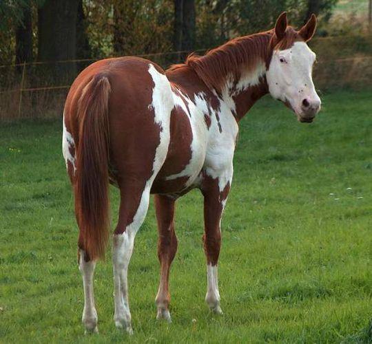 Paint Horse - Hengst Leos, Mr Blue Max