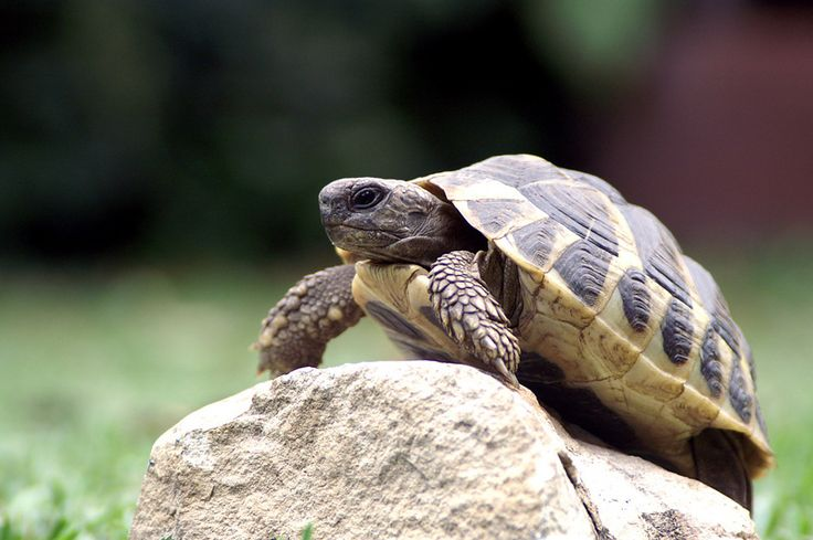 """""""Tortoise's wife sent for the medicine man and he gathered all the bits of shell and stuck them together. That is why Tortoise's shell is not smooth,"""" (99). This example of a traditional Igbo parable explains the origin of tortoise's unique shells. The meaning behind this folktale is that if you must face the consequences of your actions. This moral applies to Igbo culture and Okonkwo's life in Things Fall Apart because he must live with the fact that his father's failures affect him every…"""