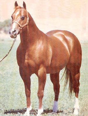Doc Bar - the original quarter horse booty.  This Quarter Horse shows the breeds strength in the front and hind quarters. They got their name because they are the fastest horse for 1/4 of a mile.