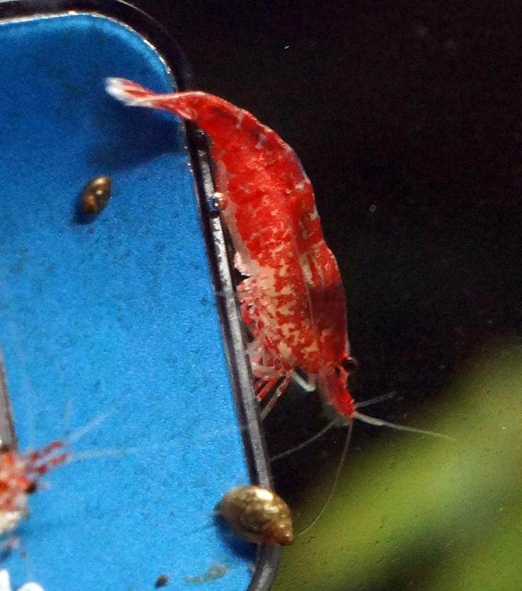 Red Fire shrimp
