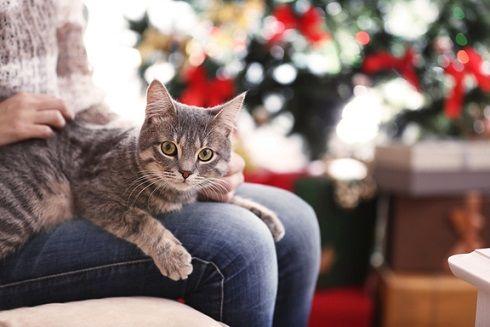 Sarah S. témoigne : «La plus grande joie de Simbapour Noël fut sans doute le sapin, tout illuminé, plein de couleurs, de décorations et cadeaux. C'était une belle attraction et son aire de jeux préférée:il adorait grimper dans l'arbre et jouait tout le temps avec, c'était un chaton très joueur / vif / plein de vie».