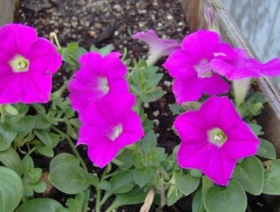 What Is Eating the Flowers on My Petunia Plants? thumbnail