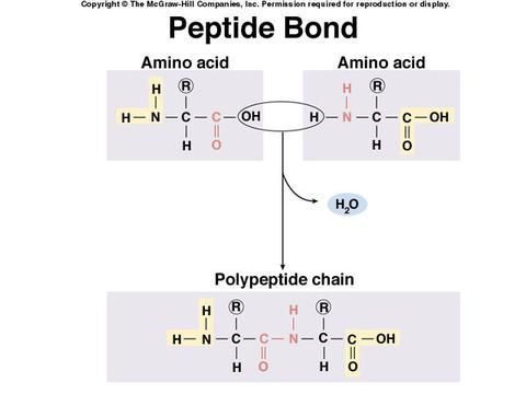 Peptide Bond formation: dehydration synthesis reaction or condensation reaction
