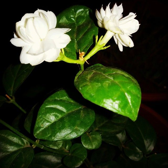 #flowers #flower #jasmine #TagsForLikes #petal #petals #nature #beautiful #love #pretty #plants #blossom #sopretty #summer #flowerstagram #flowersofinstagram #flowerstyles_gf #flowerslovers #flowerporn #botanical #floral #florals #insta_pick_blossom #flow