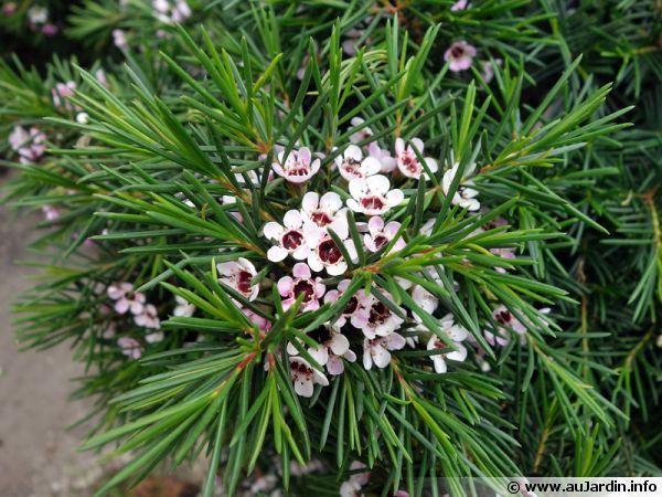 Fleur de cire de Geraldton, Wax, Chamelaucium uncinatum