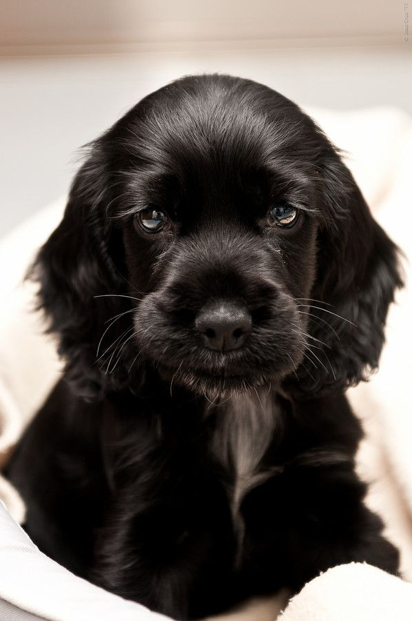 Baby Spot - Cocker Spaniel  Reminds me of Oliver when he was a baby!