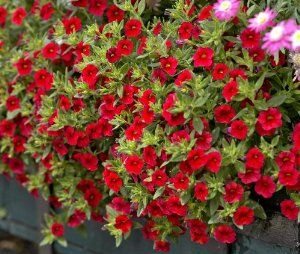 Japaninkello 'Calita Deep Red'