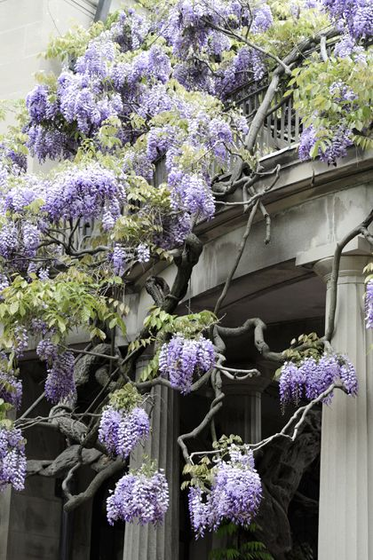 Wisteria; the plant that got the most votes for most beautiful gardenplant.