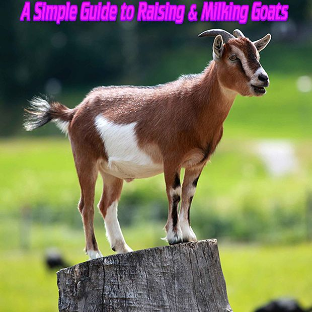 Fact of the day: A Simple Guide to Raising  Milking Goats