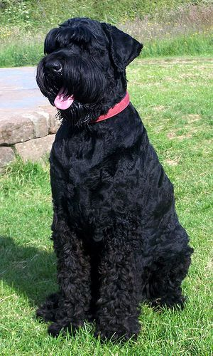 Black Russian Terrier - Breed Profile:    Origin: Russia  Colors: Black  Size: Large  Type of Owner: Experienced  Exercise: Moderate exercise needed  Grooming: Weekly  Trainability: Easy to train  Combativeness: Slightly dog-aggressive  Dominance: High  Noise: Average barker