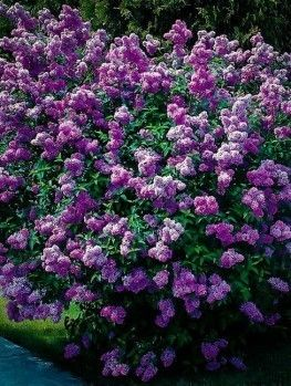 Buy Bloomerang Purple Lilac Online. Arrive Alive Guarantee. Free Shipping On All Orders Over $99. Immediate Delivery.