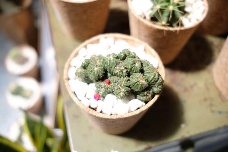 Cactus fleurs -  les others
