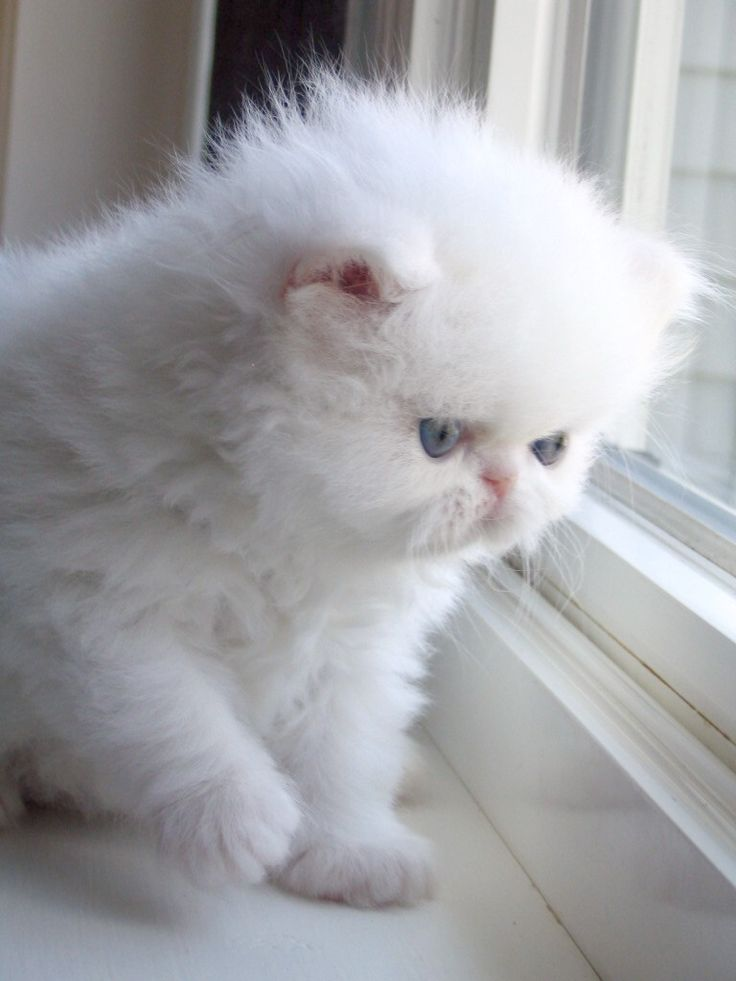 White persian cat clean eyes