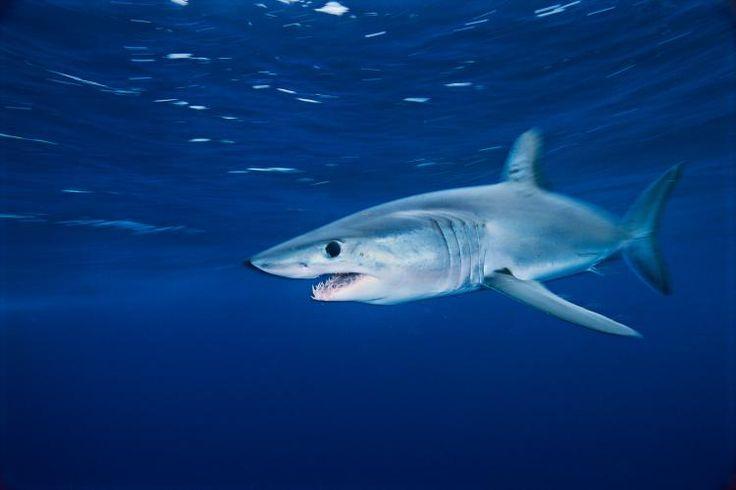 Shortfin Mako Shark. © Brian Skerry