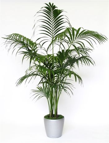 A lovely Howea forsteriana indoor palm tree with next day delivery and gift wrap options.