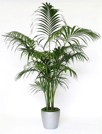 Best 25+ Indoor palm trees ideas on Pinterest | Palm tree island ...