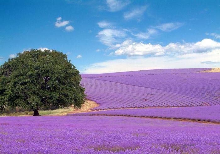 Lavender fields near Fredericksburg, Texas in the Hillcountry - Fredericksburg is a great place to visit - Lots of little shops, great German food, and pretty country