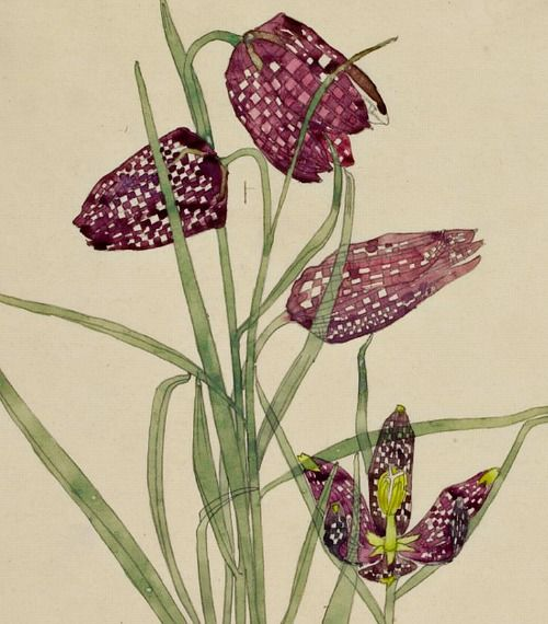 Charles Rennie Mackintosh, Fritillaria, 1915 (I've been looking for these for my garden!)
