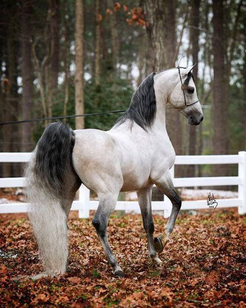 """I've been in love with Arabian Horses since I was little and read the """"Black Stallion"""" books! Arabian Horse Arabian Horse Show - Western Competition Egyptian Stallion Breeding PIntabians"""