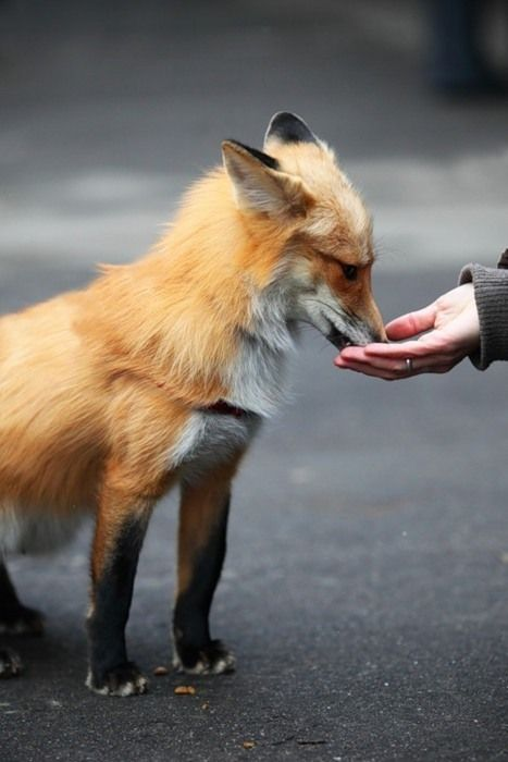 <3: Wild Animal, Animals, Pets, Creatures, Favorite Animal, Things, Foxes, Foxy, Pet Fox