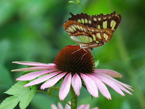 The Purple Coneflower, also known as Echinacea, draws tons of neat insects as well as butterflies. http://www.ivillage.com/best-plants-attract-butterflies-your-garden/7-a-535056?cid=tw|05-04-13