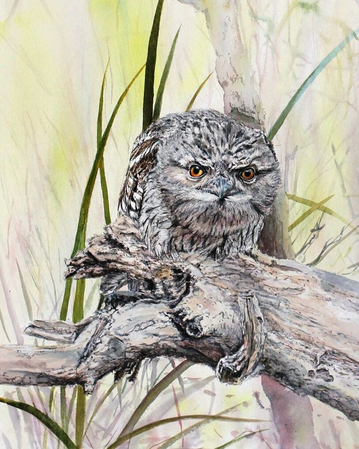 Tawny frogmouth. Watercolour. Melhillswildart