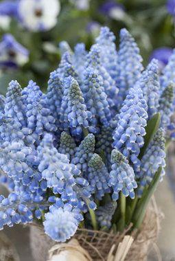 Perleblomster finnes i både hvite og blå nyanser.