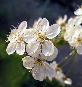Santa Rosa Plum Tree Care. Popular in home gardens and high production farms, the Santa Rosa plum trees produce dark red and purple fruits with a fleshy red center. With the proper care, a Santa Rosa plum tree can become a fruitful and hardy addition to any garden