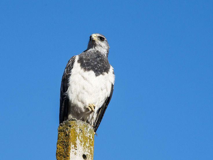Águila (Geranoaetus melanoleucus) | Flickr - Photo Sharing!