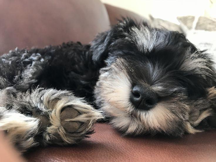 Vito #MiniSchauzer Schnauzer Puppy