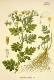 Feverfew - one of my favs. Great for migraines and bug bites!