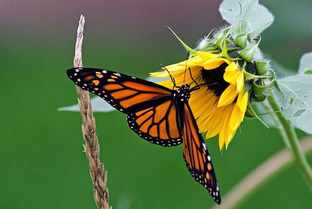 with butterfly: Favorite Flowers, Flutter Butterflies, Mobiles App, Butterflies On Sunflowers, Monarch Butterflies,  Monarch Butterfly, Monarch Queen, La Mariposas, Lds Mobile