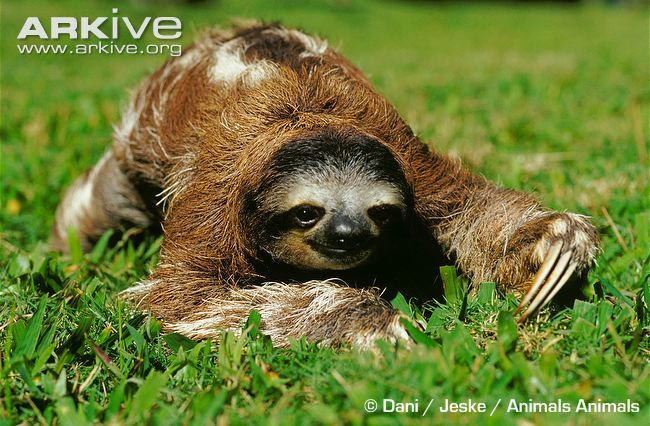 """Day3: Gotta pay one more 100€ to see such a tree toed sloth by the way. He looks like he thinks that nobody can see him! haha I love him already! Now I got my own """"Sid"""" from """"Summer Age"""" =)"""