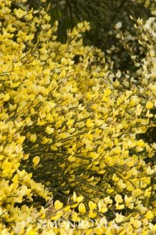 Allgold Scotch Broom - Lovely, long sprays of pea-like flowers make this an excellent choice for mass planting. Beautiful rounded habit of dense, green branches having tiny green leaves. Deciduous. #LetsGarden