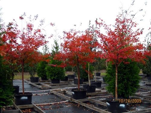 Natchez Crepe Myrtle Fall Color