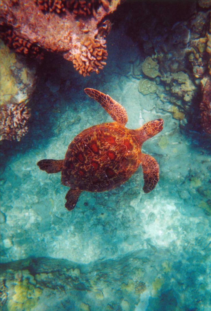 USA, Green Turtle, Big Island, Hawaii