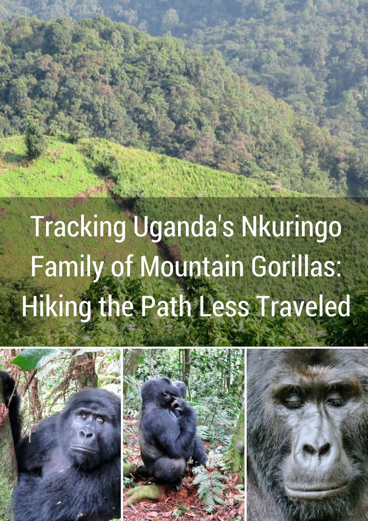 Tracking Uganda's Nkuringo Family of Mountain Gorillas in Bwindi Impenetrable Forest was one of the most difficult and rewarding hikes I've ever done!