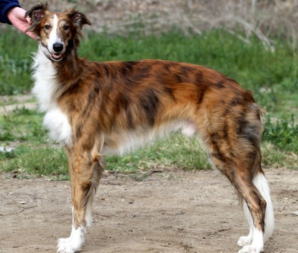 Seidener Windhund Hunde Windhund Windhund Welpen