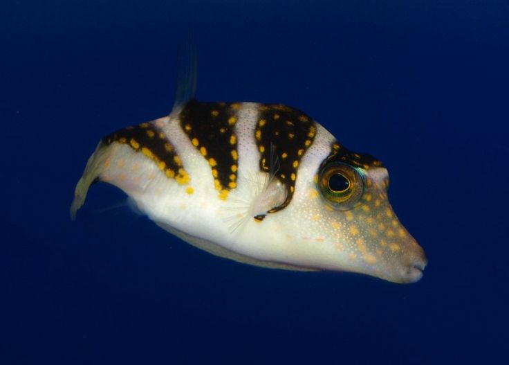 1000 images about rare marine shop majestic aquariums on for Puffer fish price